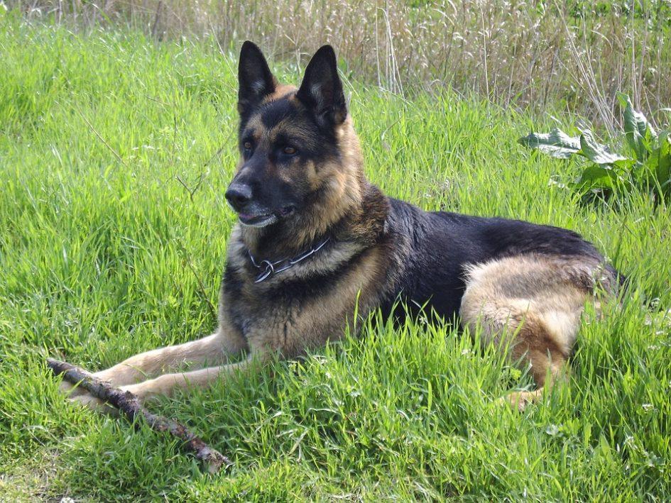 german-shepherd-340843_960_720