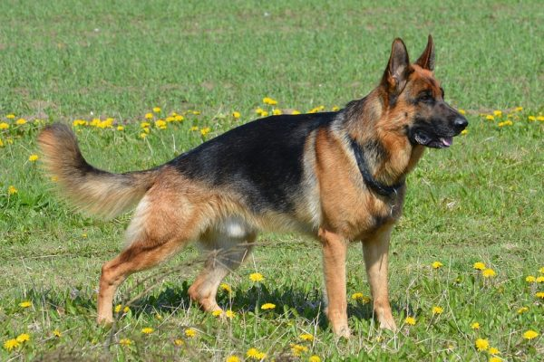 german-shepherd-405503_960_720
